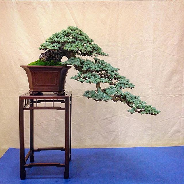 Cascade Blue Atlas Cedar By Jim Gremel This Was The Golden State Bonsai Federation Exhibit In Sacramento In 2014 This Spec Bonsai Bonsai Art Blue Atlas Cedar