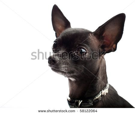 Black Chihuahua Looks Like My Daizy Mae Black Chihuahua Cute