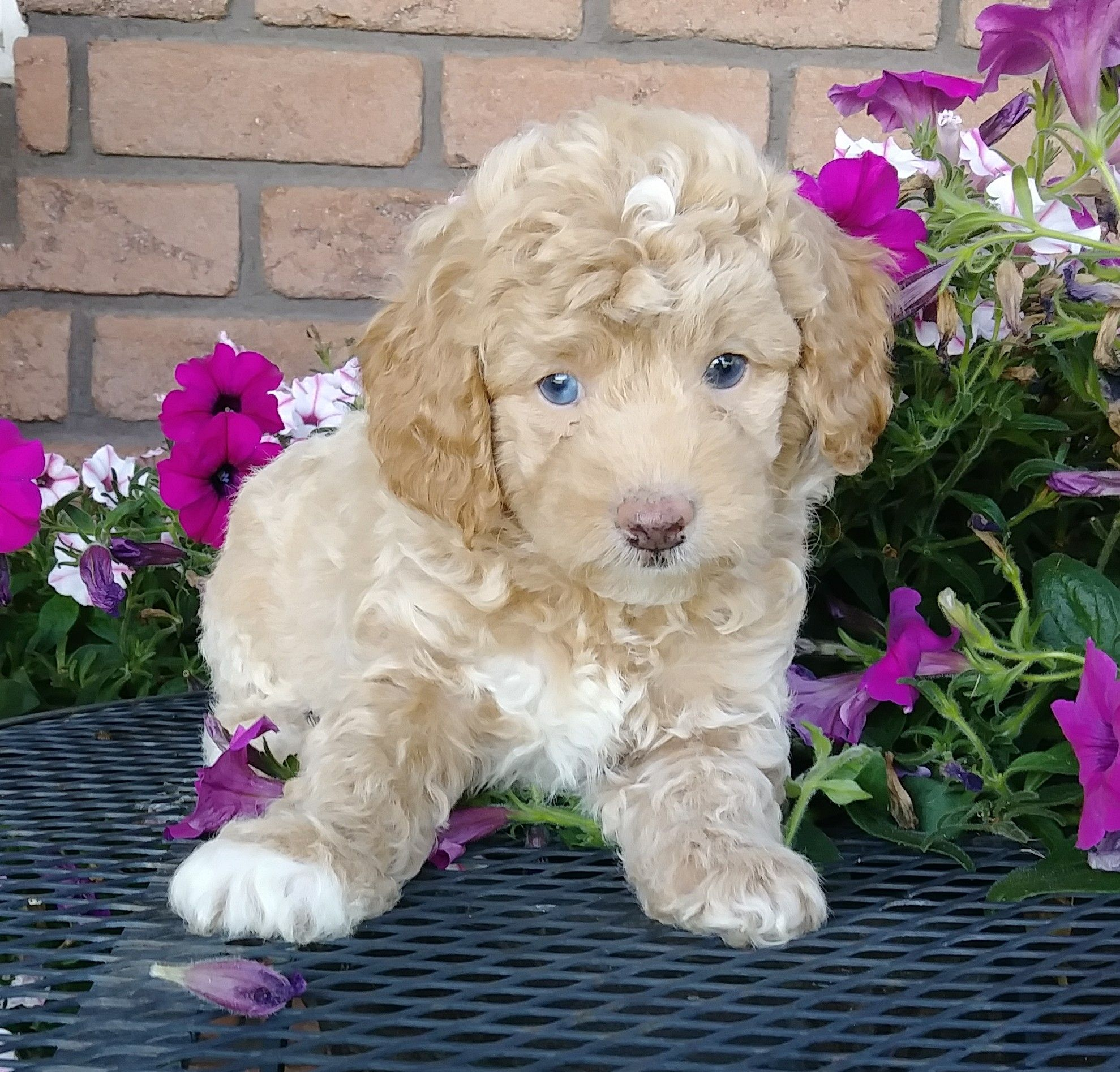 Precious Cockapoo Cockapoo Puppies Dog Groomers Lancaster Puppies