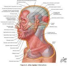 Resultado de imagen para músculos de la cara pdf