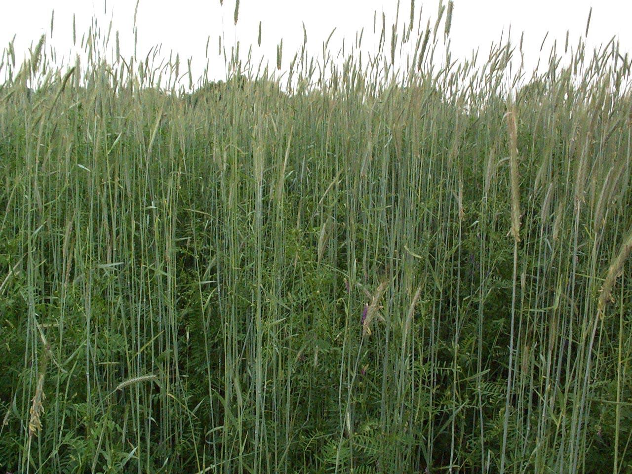 12 lb Winter Wheat Seed  Deer Food Plot// Garden Cover Crop FREE SHIPPING