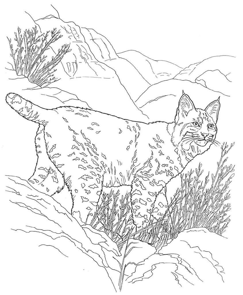 Desert Animals Coloring Pages Bobcat Animal Coloring Pages Desert Animals Coloring Farm Animal Coloring Pages