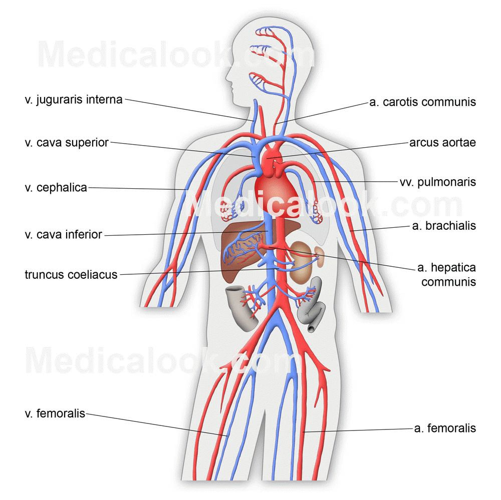 Cardiovascular System Parts And Functions Circulatory Human Simple