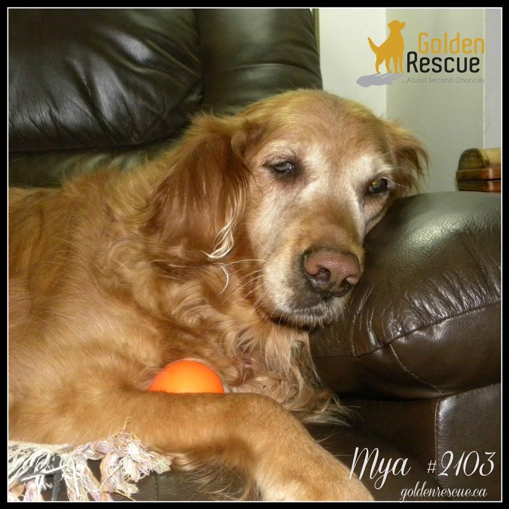 Golden rescue on twitter adoption stories adoption