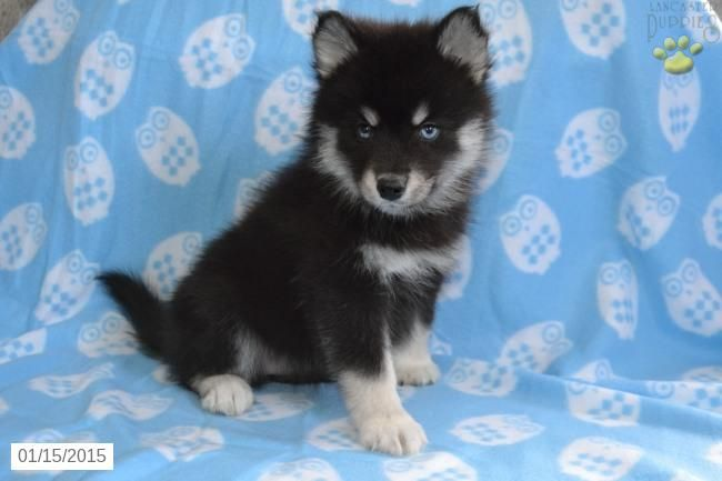 Pomsky Puppy For Sale In Ohio This Puppy Sold For 7 500 00 Can