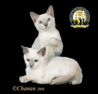 Breed Profile The Tonkinese With Images Tonkinese Cat Tonkinese Kittens Cat Lovers