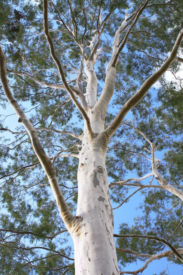 Ghost Gum Tree against blue sky. Single Ghost Gum Tree
