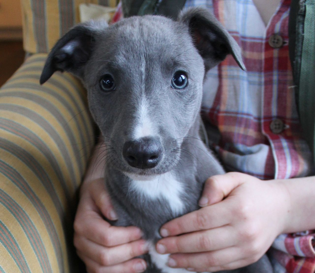 Claudine Whippet Puppies Greyhound Puppy Blue Whippet