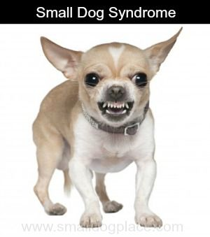 Small Dog Syndrome Are We Really The Cause Aggressive Dog