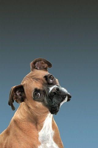 Pin De Karen Fox En Dogs Wolves Perros Boxer Mascotas Perros