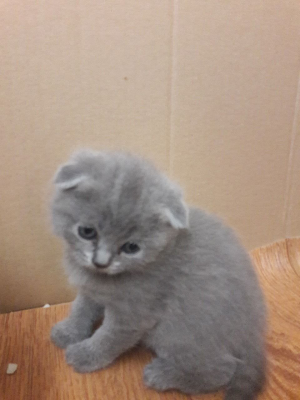 Scottish Fold Cats For Sale Philadelphia Pa Cat Scottish Fold Scottish Fold Cats For Sale