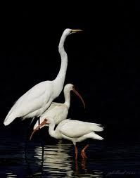 wading birds - Google Search
