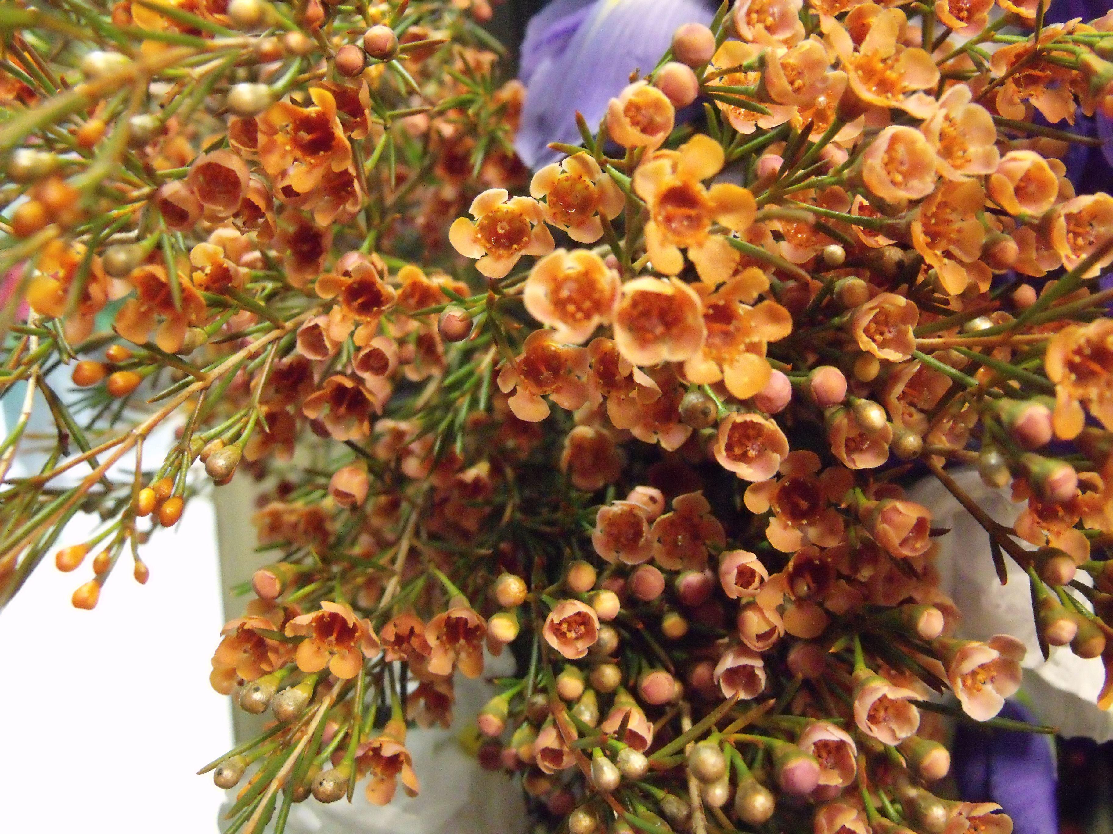 Orange Waxflower