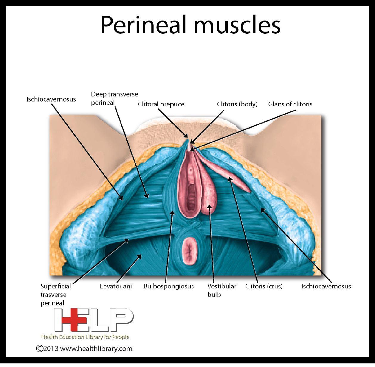 Perineal Muscles   Female Reproductive System   Pinterest   Muscles ...