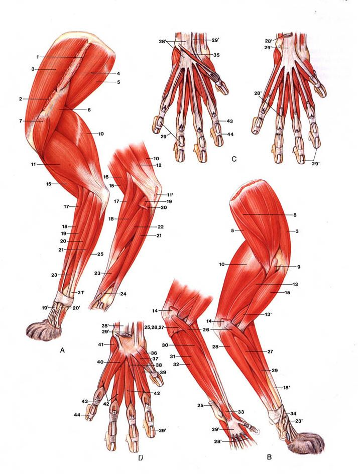 Dog Leg Tendon Anatomy - Invitation Templates | Anatome | Pinterest ...