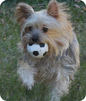 Statewide And National Tx Yorkie Yorkshire Terrier Meet Daisy A Dog For Adoption Yorkshire Terrier Yorkie Yorkshire Terrier Yorkie