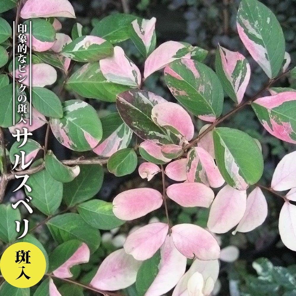 美しい掃込斑の入った新品種!百日紅 さるすべり 。【ハナヒロバリュー】 サルスベリ 斑入 3.5号ポット苗