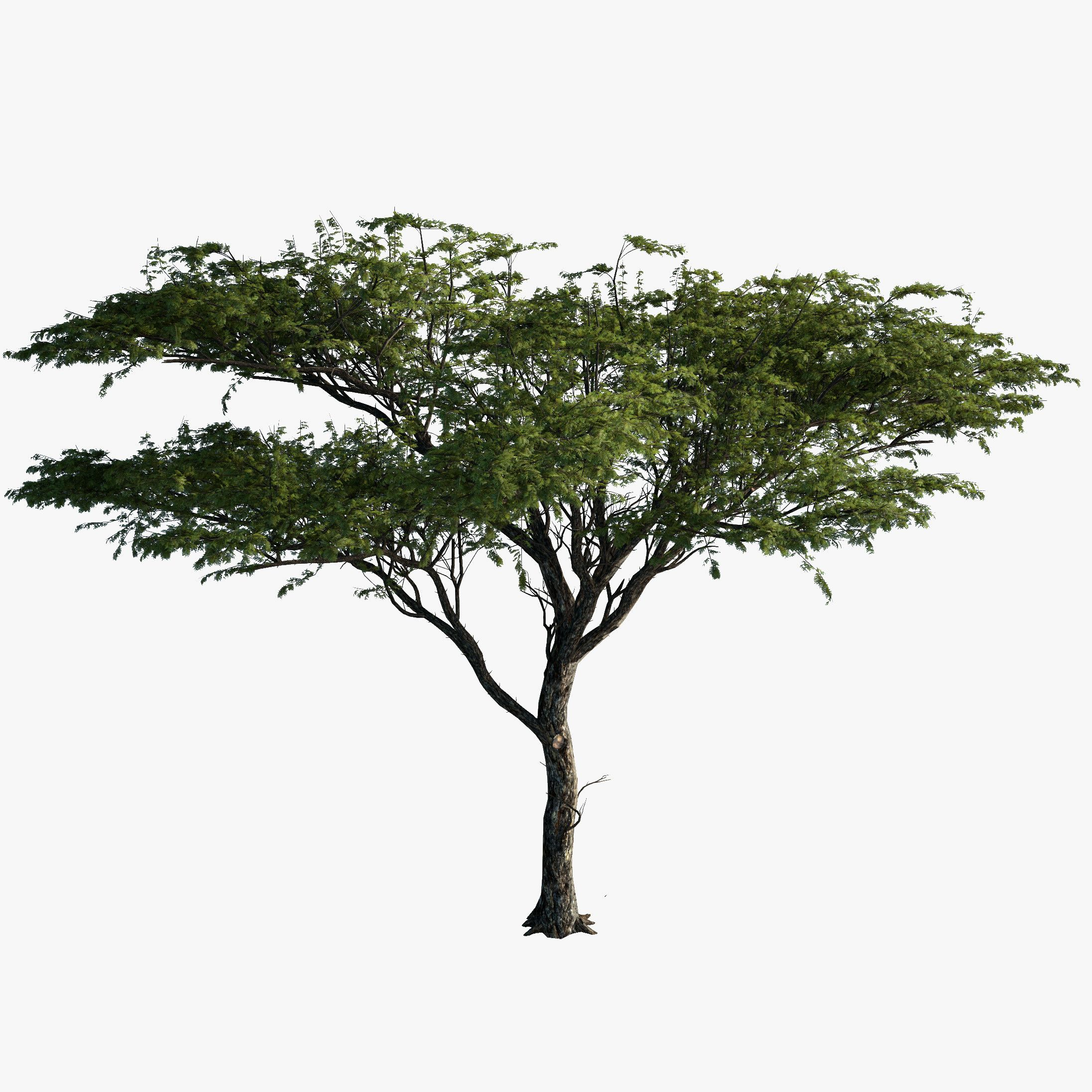 3d Model Tree Acacia Plant Model Tree Watercolor Tree Print Acacia Tree