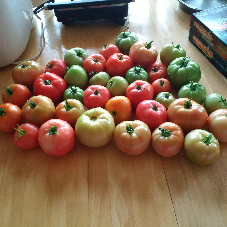 My first Tomato Harvest! #gardening #garden #gardens #DIY ...
