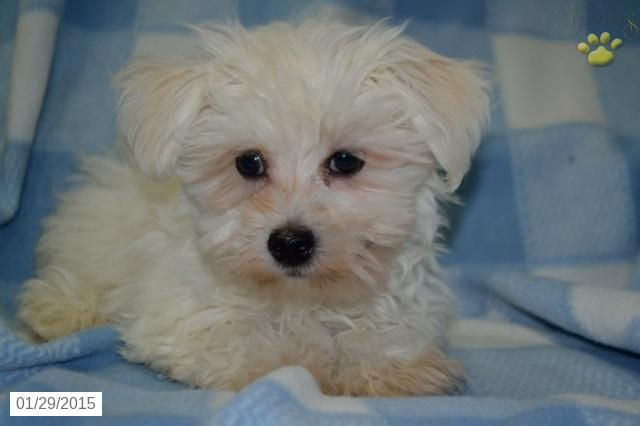 Havanese Puppy For Sale In Ohio Http Www Buckeyepuppies Com Puppy For Sale Havanese Bobo Puppies Havanese Puppies Puppies For Sale