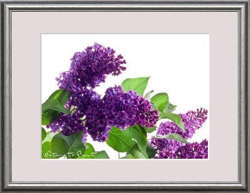 Blumenbild-Kunstdruck und Leinwandbild lila Flieder auf Weiß ...