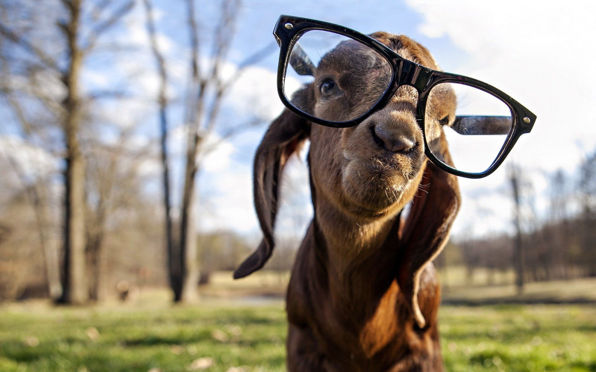 Skrillex Animals Glasses Goats Wallpaper 2740610 Wallbase Cc Goats Funny Cute Goats Funny Animals,Hacks Space Saving Ideas For Small Apartments