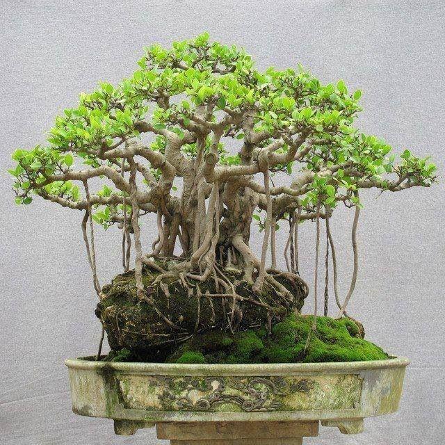 ficus bonsai bonsai baum daumen und pflanzen. Black Bedroom Furniture Sets. Home Design Ideas