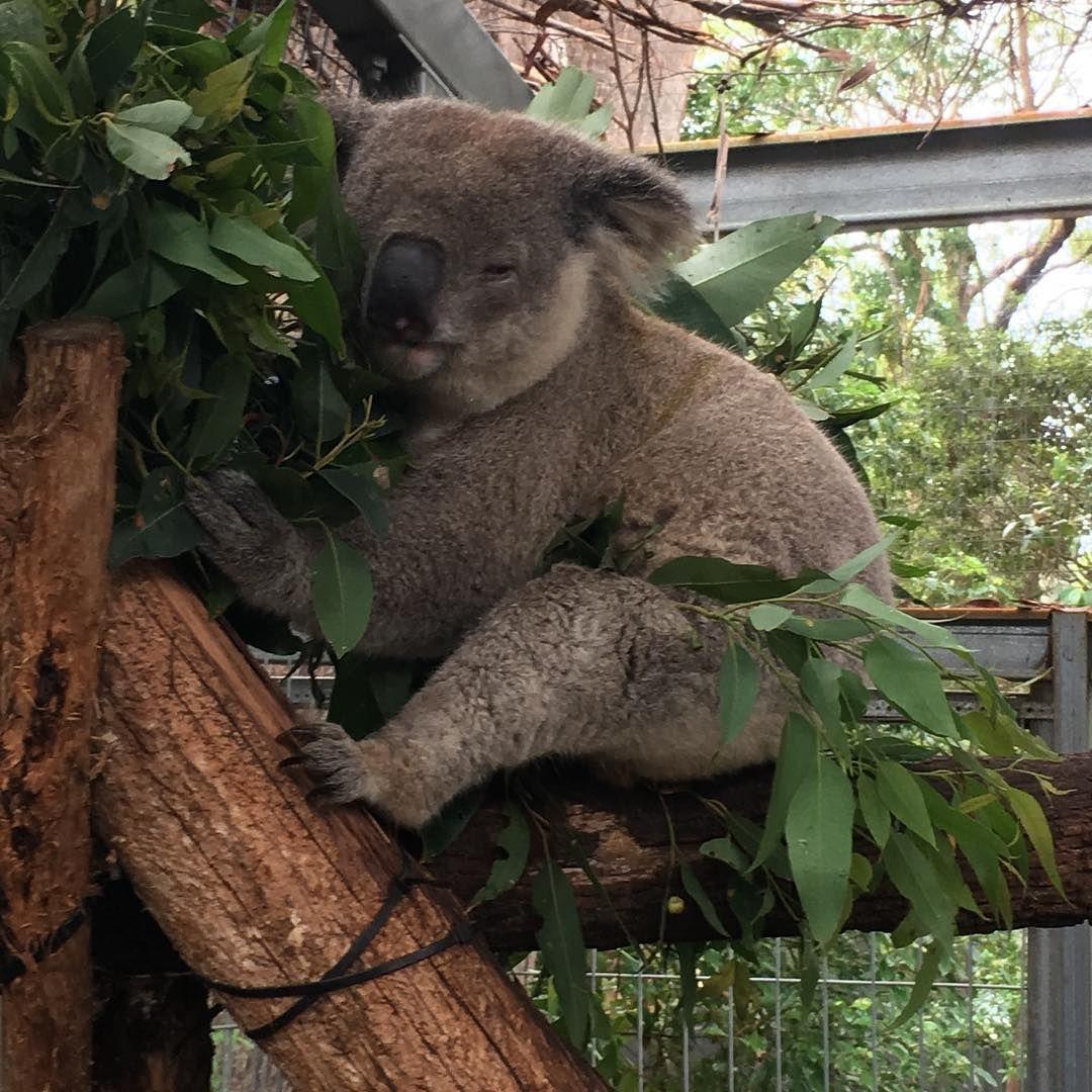 Animal Jobs Near Me 2020 Koala bear, Koala, Animals