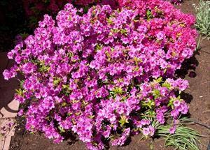 Azalea Rhododendron Spp Girard S Fushia Pnw Plants Zone 6