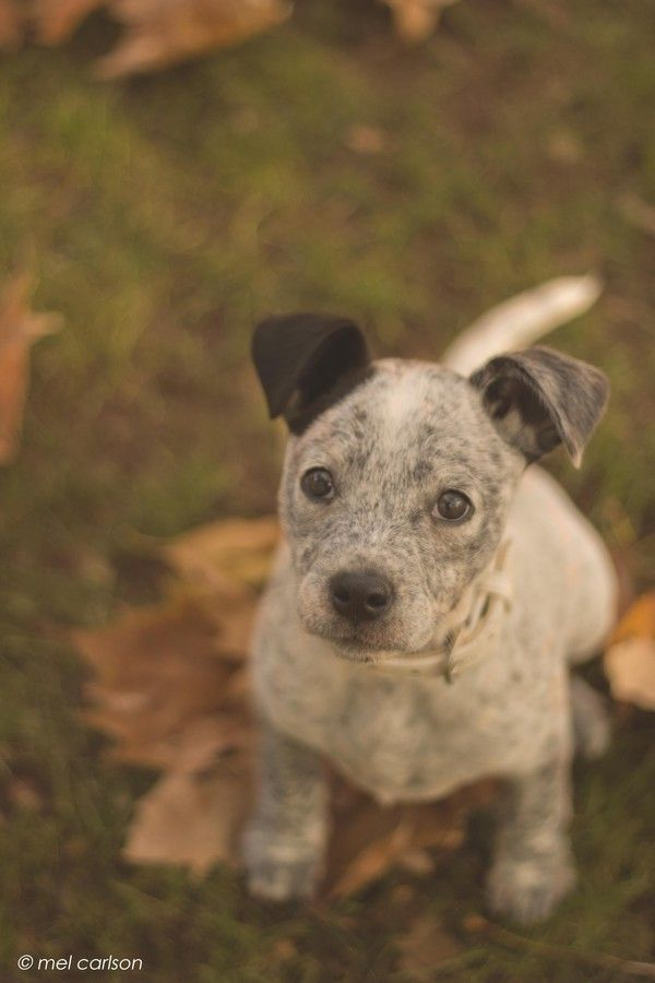 Pepper Australian Cattle Dog Mix Cattle Dogs Mix Australian Cattle Dog Mix Heeler Puppies