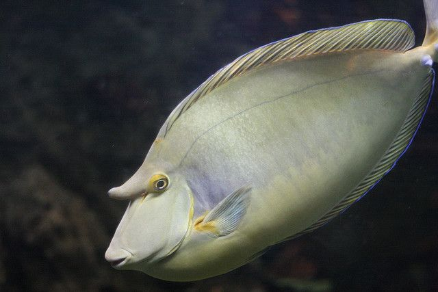 Shortnose Unicorn Fish (Naso unicornis) Interesting