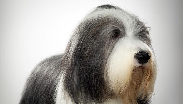 Bearded Collie Dog Breed Info Pictures Bearded Collie Collie