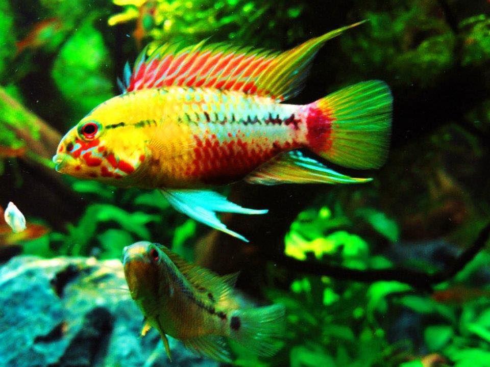 Fish Apistogramma hongsloi Nice little fellow