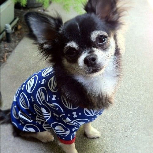 Pixie loves her new @barackobama doggie-jamas and is proud to be a Democrat!
