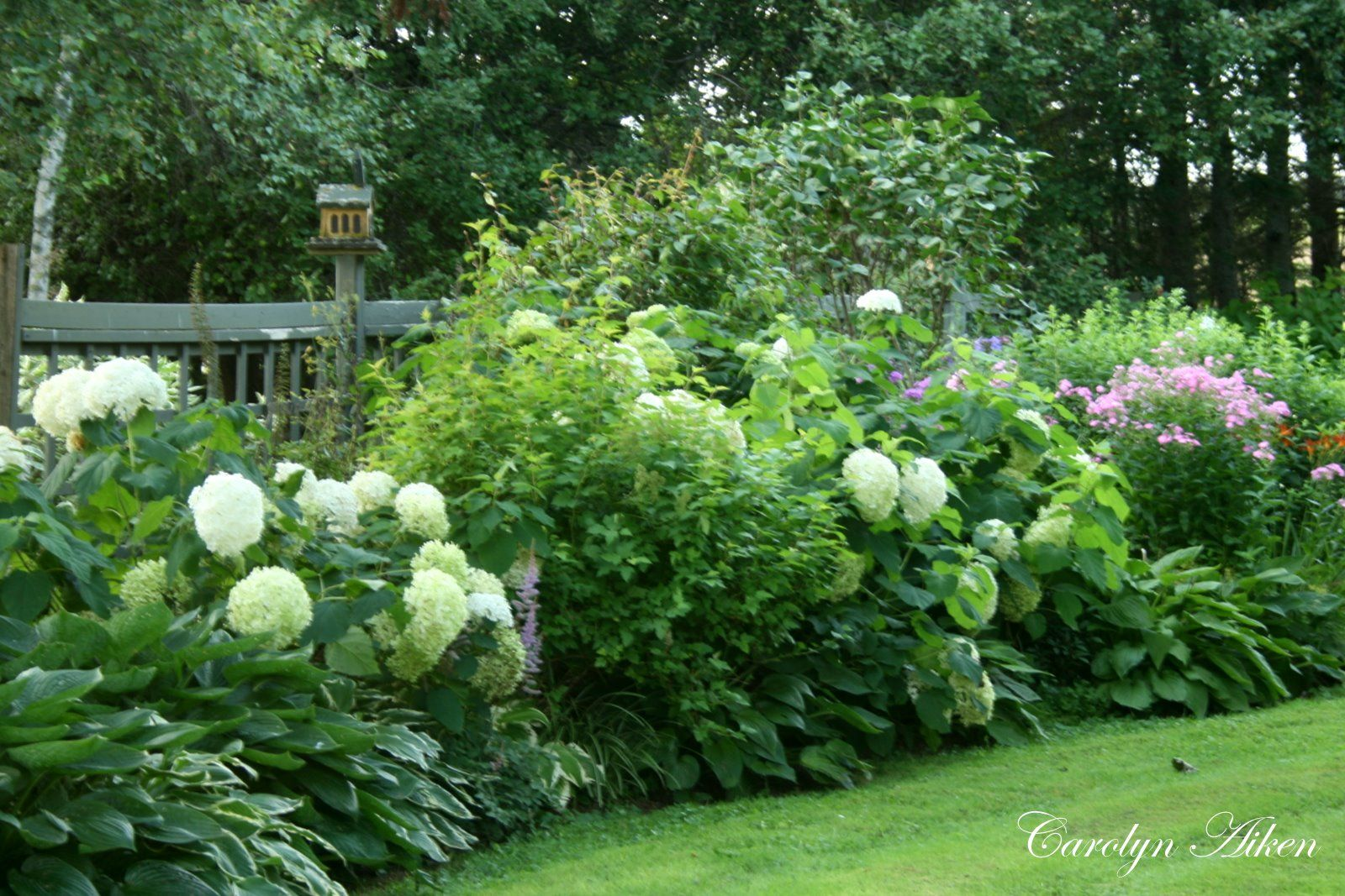 Annabelle Hydrangeas In A Shrub And Hosta Mix Border