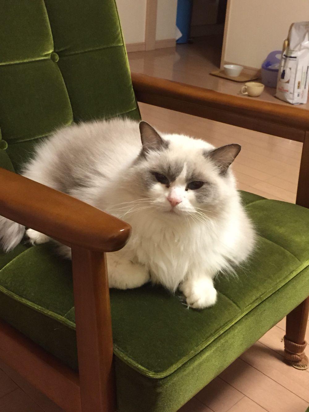 Kiscicák image by Erika Alexovicsné Ragdoll cat, Pets, Kitty