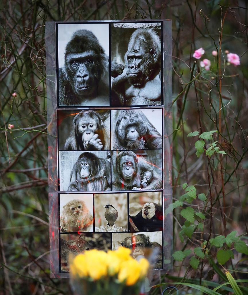 Nach Feuer Im Zoo Krefeld So Geht Es Den Uberlebenden Schimpansen In 2020 Zoo Krefeld Schimpanse Zoo