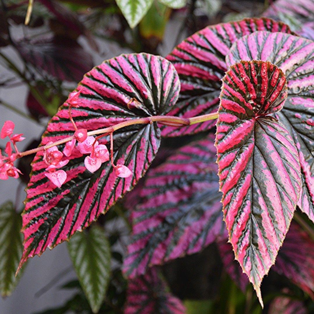 Begonia Brevirimosa Begonia Indoor Plants Names Rare Plants