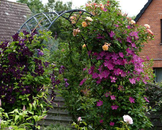 Rosen und Clematis - Clerotiker 2014 - Seite 2 - Rund um die Rose - Mein schöner Garten online
