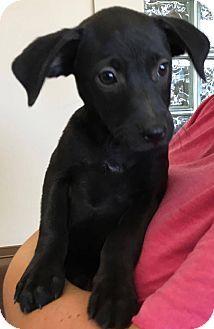 Las Vegas Nv Labrador Retriever Border Collie Mix Meet Hannah A Puppy For Adoption Http Www Adoptapet Com Pet 1882 Labrador Retriever Puppy Photos Pets