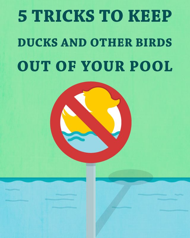 5 Tricks To Keep Ducks And Other Birds Out Of Your Pool Bird Swimming Pools And Swimming Pool