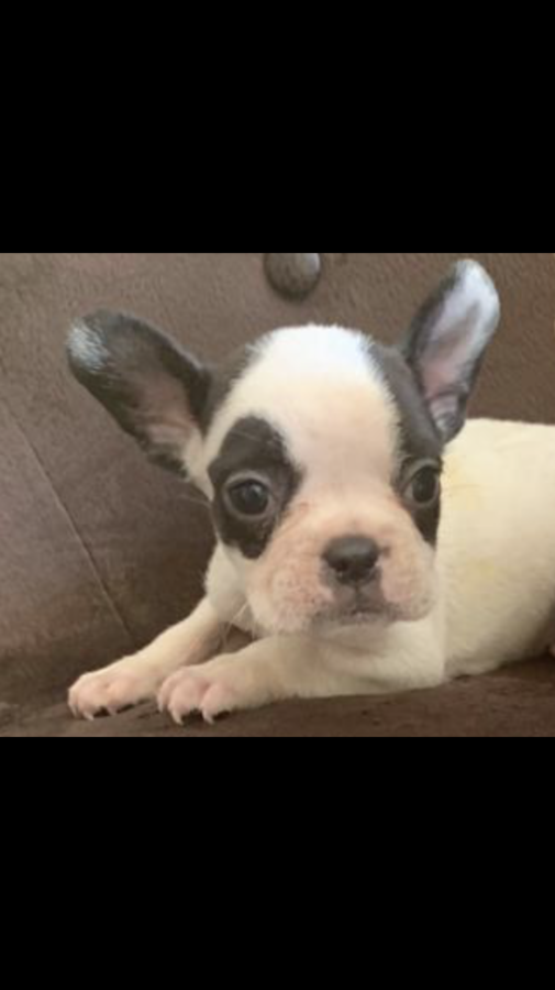 French Bulldog frenchieforsale frenchie4sale