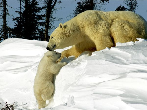 Polar Bear Fast Facts~  Type:  Mammal  Diet:  Carnivore  Average life span in the wild:  25 to 30 years  Size:  Head and body, 7.25 to 8 ft (2.2 to 2.5 m); Tail, 3 to 5 in (7.5 to 12.5 cm)  Weight:  900 to 1,600 lbs (410 to 720 kg)
