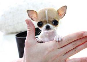 Cute Baby Teacup Dogs