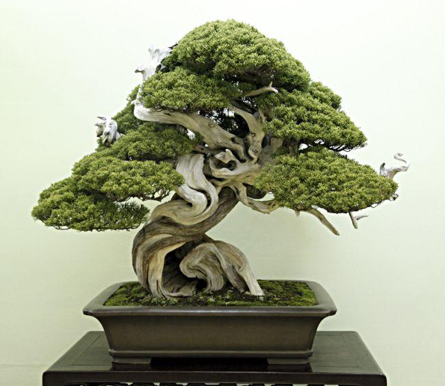Shimpaku Jpg 650 563 Indoor Bonsai Tree Bonsai Bonsai Tree