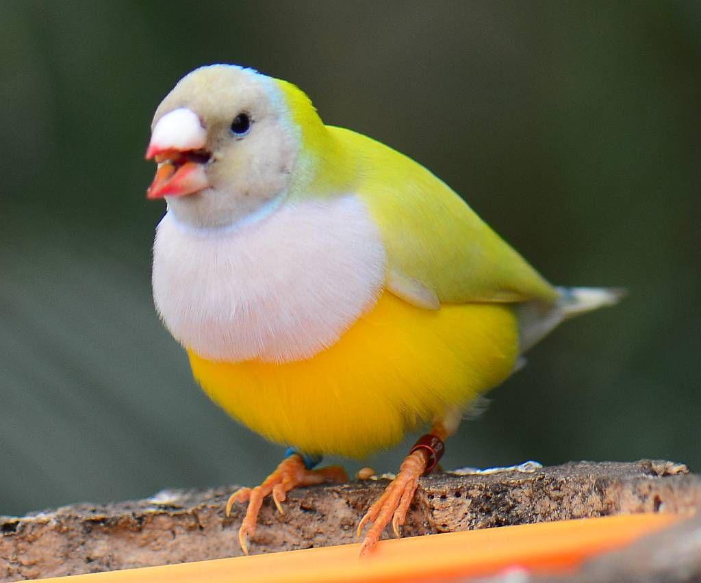 Gouldian Finch Tiere