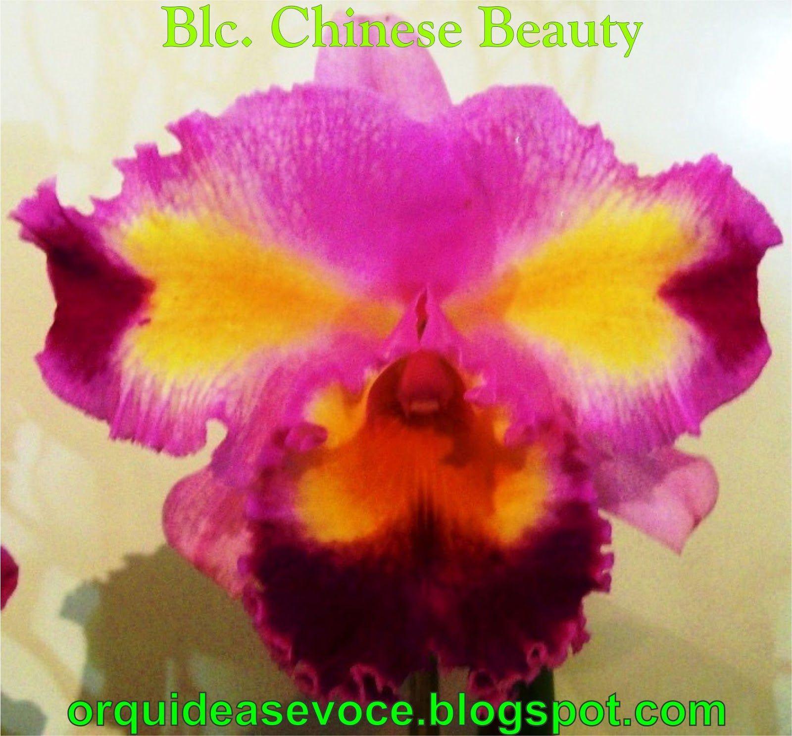 BLC Chinese Beauty Orchid Queen AM AOS | PLANTAS,ORQUIDEAS,DICAS,NOTICIAS,CURIOSIDADES: FOTOS DE ORQUÍDEAS ...