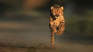 Cheetah - amazing facts about nature and animals - Google Search