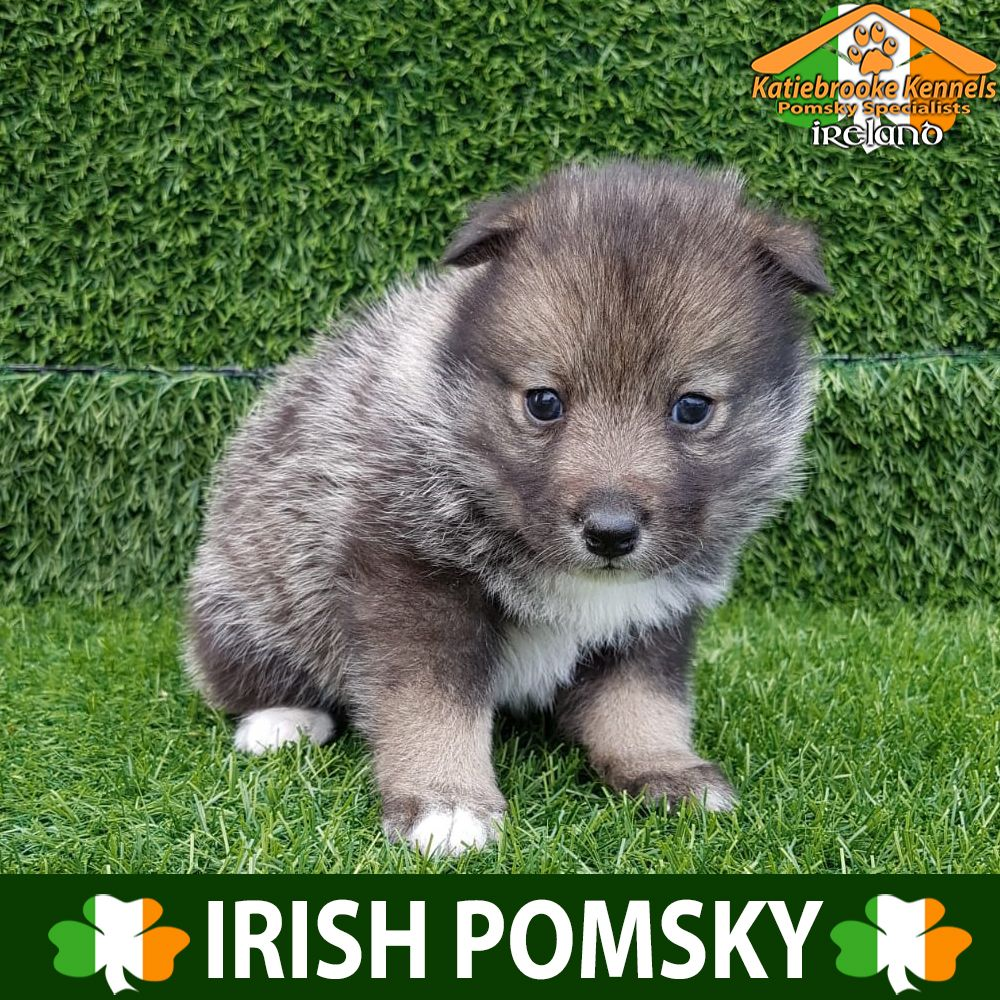 Katiebrooke Kennels Pomsky Specialists Ireland Price 1500 F2 Pomsky Puppy Woodie Brown Eyes X Male X Black White An Pomsky Puppies Puppies Pomsky