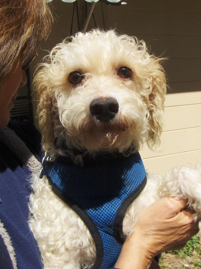 Adopt Marley on Poodle, Maltese mix, Dogs